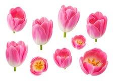 O grupo de tulipa brota em ângulos de câmera diferentes isolada em b branco Foto de Stock Royalty Free