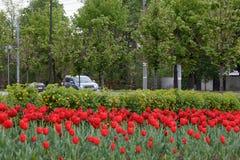 O grupo de tulipas vermelhas está crescendo no parque perto da estrada Poluição ambiental Fotografia de Stock Royalty Free