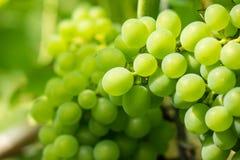O grupo de uvas fresco na luz solar Imagens de Stock Royalty Free