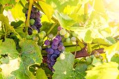 O grupo de uvas vermelhas e a videira folheiam contra o fundo verde e amarelo Imagem de Stock Royalty Free