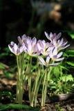 O grupo do açafrão roxo de florescência bonito floresce em uma opinião ensolarada do vertical da floresta Imagem de Stock