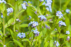 O grupo do campo ciano azul de florescência do miosótis do Myosotis floresce Fotos de Stock