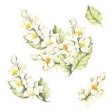 O grupo do ramo do jasmim Ilustração da aguarela Imagem de Stock Royalty Free