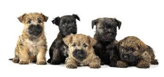 O grupo do ` s do terrier de monte de pedras do cachorrinho está no branco Imagens de Stock Royalty Free