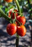 O grupo do verde vermelho dos tomates de cereja na água deixa cair, t natural maduro Fotos de Stock