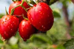 O grupo do verde vermelho dos tomates de cereja na água deixa cair, t natural maduro Imagens de Stock
