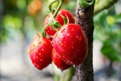 O grupo do verde vermelho dos tomates de cereja na água deixa cair, t natural maduro Foto de Stock Royalty Free