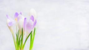 O grupo dos açafrões floresce no fundo claro, bandeira Foto de Stock