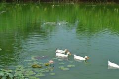 O grupo ducks a água do jogo Fotografia de Stock Royalty Free