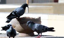 O grupo indiano cinzento do pombo é água potável em um potenciômetro fotografia de stock