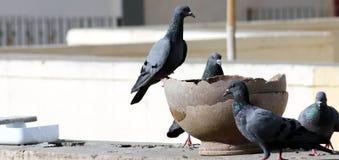 O grupo indiano cinzento do pombo ? ?gua pot?vel em um potenci?metro foto de stock