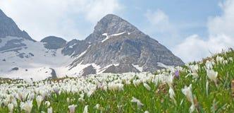 O grupo maravilhoso de açafrão floresce no prado alpino Flor do açafrão Flores da montanha No fundo os cumes Imagem de Stock