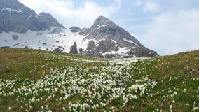 O grupo maravilhoso de açafrão floresce no prado alpino Flor do açafrão Flores da montanha No fundo os cumes Foto de Stock