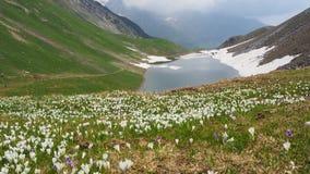 O grupo maravilhoso de açafrão floresce no prado alpino Flor do açafrão Flores da montanha O lago natural Branchino Cumes de Orob Foto de Stock Royalty Free