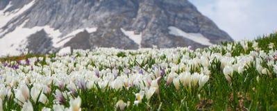 O grupo maravilhoso de açafrão floresce no prado alpino Flor do açafrão Flores da montanha Paisagem da mola Imagem de Stock