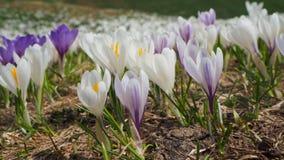 O grupo maravilhoso de açafrão floresce no prado alpino Flor do açafrão Flores da montanha Paisagem da mola Foto de Stock