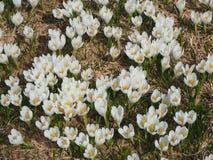O grupo maravilhoso de açafrão floresce no prado alpino Flor do açafrão Flores da montanha Paisagem da mola Fotografia de Stock Royalty Free