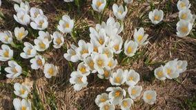 O grupo maravilhoso de açafrão floresce no prado alpino Flor do açafrão Flores da montanha Paisagem da mola Imagem de Stock Royalty Free