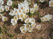 O grupo maravilhoso de açafrão floresce no prado alpino Flor do açafrão Flores da montanha Paisagem da mola Fotos de Stock Royalty Free