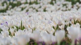 O grupo maravilhoso de açafrão floresce no prado alpino Flor do açafrão Flores da montanha Paisagem da mola Imagens de Stock