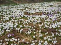 O grupo maravilhoso de açafrão floresce no prado alpino Flor do açafrão Flores da montanha Paisagem da mola Fotografia de Stock