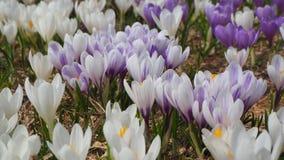 O grupo maravilhoso de açafrão floresce no prado alpino Flor do açafrão Flores da montanha Paisagem da mola Imagens de Stock Royalty Free