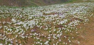 O grupo maravilhoso de açafrão floresce no prado alpino Flor do açafrão Flores da montanha Paisagem da mola Fotos de Stock