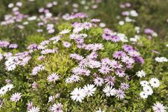 O grupo Osteospermum da flor é um gênero que pertença ao tribo de Calenduleae imagens de stock royalty free