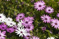 O grupo Osteospermum da flor é um gênero que pertença ao tribo de Calenduleae fotografia de stock royalty free