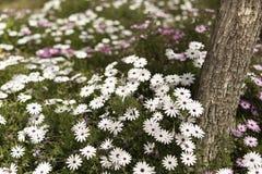 O grupo Osteospermum da flor é um gênero que pertença ao tribo de Calenduleae imagens de stock