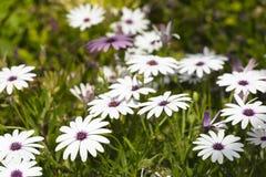 O grupo Osteospermum da flor é um gênero que pertença ao tribo de Calenduleae imagem de stock royalty free