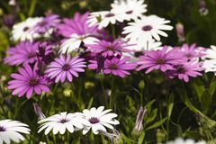O grupo Osteospermum da flor é um gênero que pertença ao tribo de Calenduleae fotos de stock royalty free