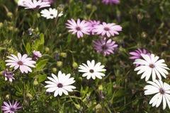 O grupo Osteospermum da flor é um gênero que pertença ao tribo de Calenduleae imagem de stock