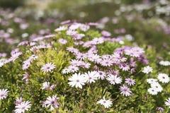 O grupo Osteospermum da flor é um gênero que pertença ao tribo de Calenduleae foto de stock royalty free