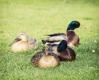 O grupo pequeno de pato selvagem ducks no parque Imagens de Stock