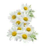 O grupo vertical da flor da camomila saiu isolado no branco Imagem de Stock Royalty Free