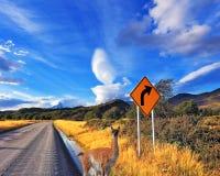 O guanaco na estrada em Argentina Fotografia de Stock