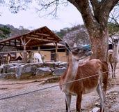 O guanaco, um nativo do camelid a Ámérica do Sul, indicando um olhar doloroso e seu guanaco companheiro que olham a de atrás foto de stock