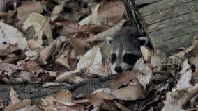 O guaxinim do bebê rasteja através das folhas secas no assoalho da floresta vídeos de arquivo