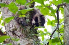 O guaxinim novo em uma árvore de amieiro olha para baixo através das folhas fotografia de stock royalty free