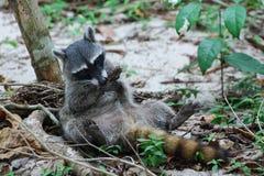 O guaxinim que encontra-se no seu para trás, faz suas patas limpas fotografia de stock royalty free
