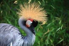 O guindaste coroado africano crested Fotos de Stock Royalty Free