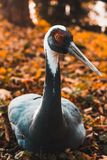 O guindaste de Daurian na perspectiva da folha do outono no jardim zoológico de Kaliningrad, foco macio, animais é alistado no imagens de stock royalty free