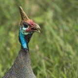 O Guineafowl protegido com capacete Pássaro selvagem em África Lago Manyara Natio Fotografia de Stock