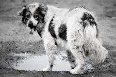 O híbrido da raça do cão encontra-se e olha-se na objetiva Imagem de Stock Royalty Free