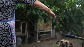 O híbrido em uma corrente, o cão exulta e salta em cima de ver sua senhora idosa Mulher rural pobre e seu animal de estimação video estoque