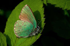 O Hairstreak verde Fotos de Stock