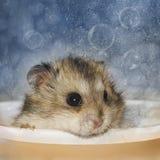 O hamster banha-se Fotos de Stock Royalty Free