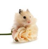 O hamster com levantou-se Imagem de Stock