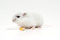 O hamster come a grão Fotos de Stock